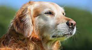 Older Dogs Simple Facts and Tips Regarding Dogs and Golden Years