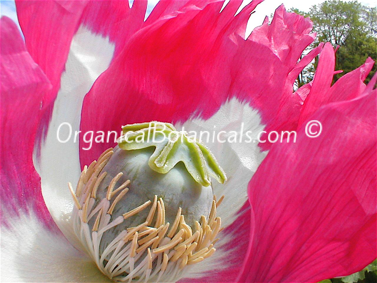 send u 100+ Izmir Afghan OPIUM Poppy Seeds HIGH YIELDING for $1